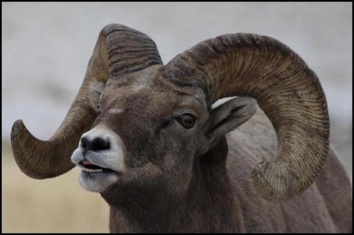 Big Horn upclose